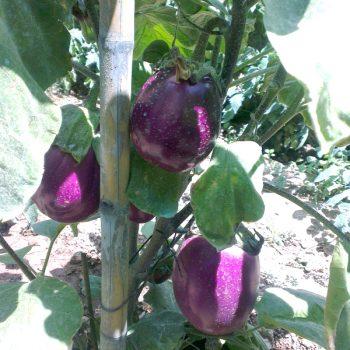 イタリアの夏野菜(前篇)庭で栽培
