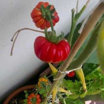 イタリアの夏野菜(後篇)テラスで栽培