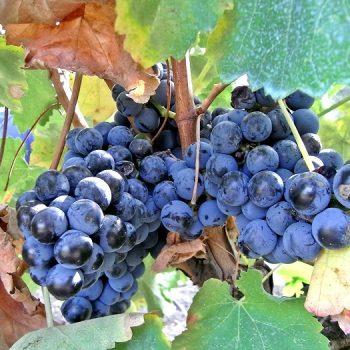 イタリア人ブドウ栽培研究者による【2015年イタリア・ワイン予想】