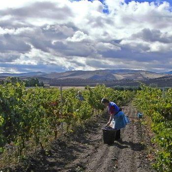 イタリアのブドウ収穫でよみがえった「あの感覚」