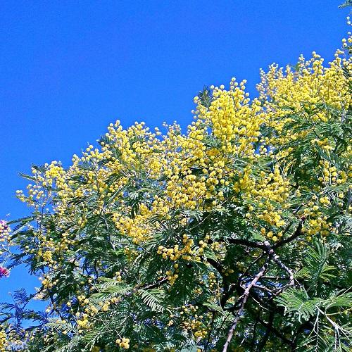 mimosa-magnoria3-500