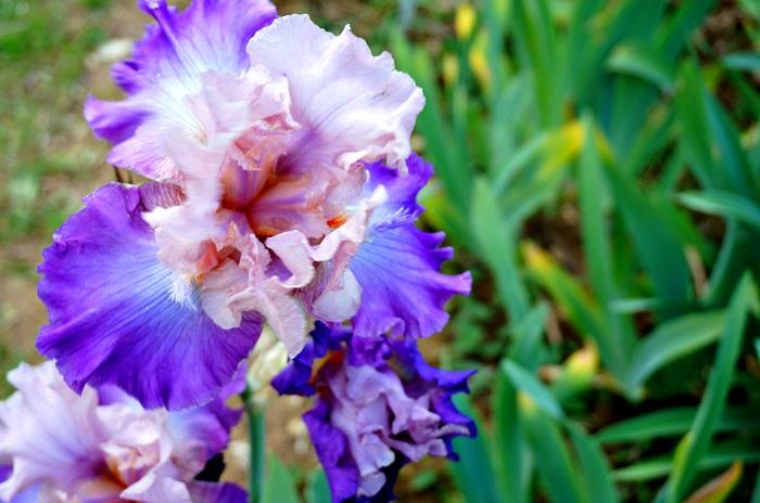 iris-garden13-700