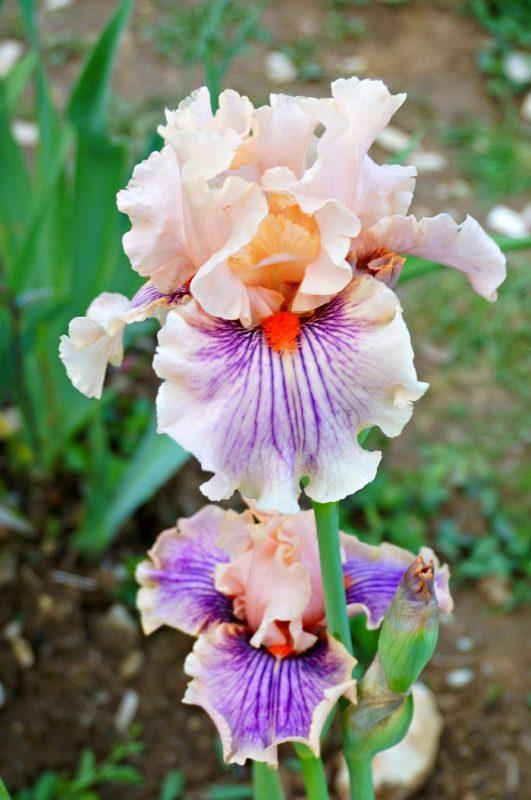 iris-garden14-700