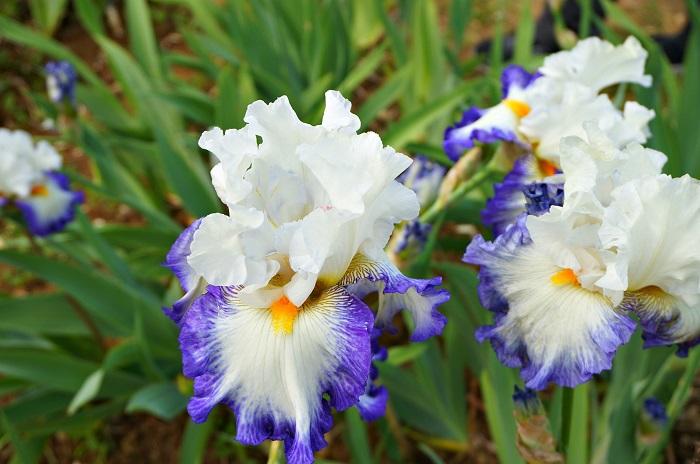 iris-garden15-700