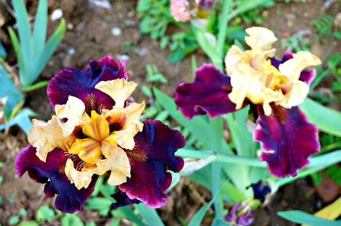 iris-garden17-700