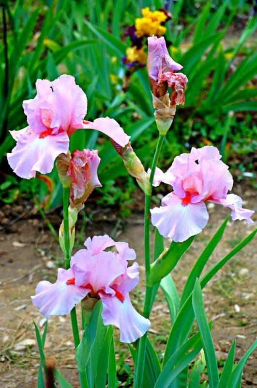 iris-garden18-700