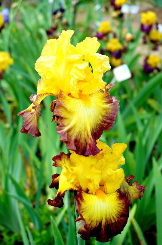 iris-garden19-700