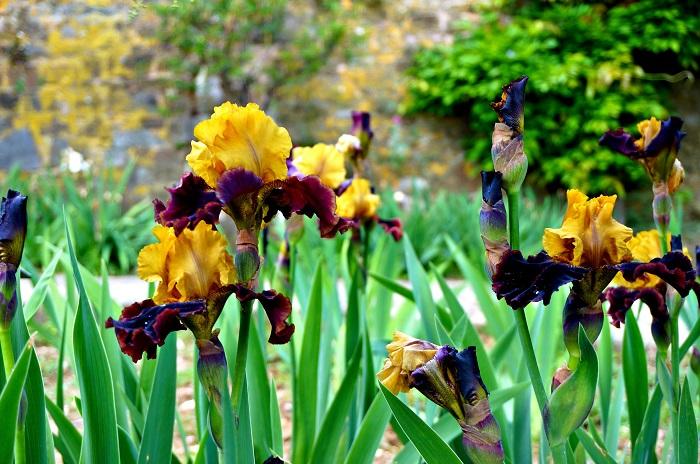 iris-garden8-700