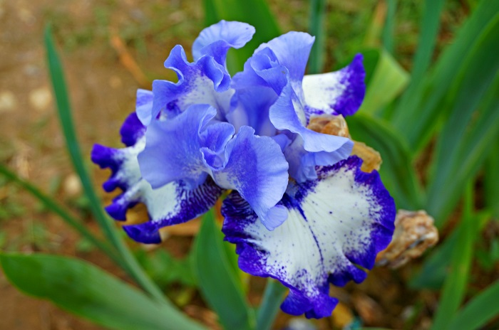 iris-garden9-700