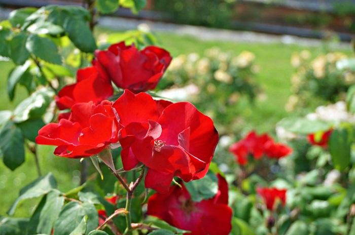rose-garden1-700