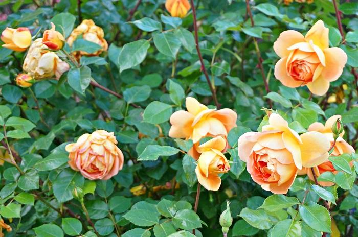 rose-garden10-700