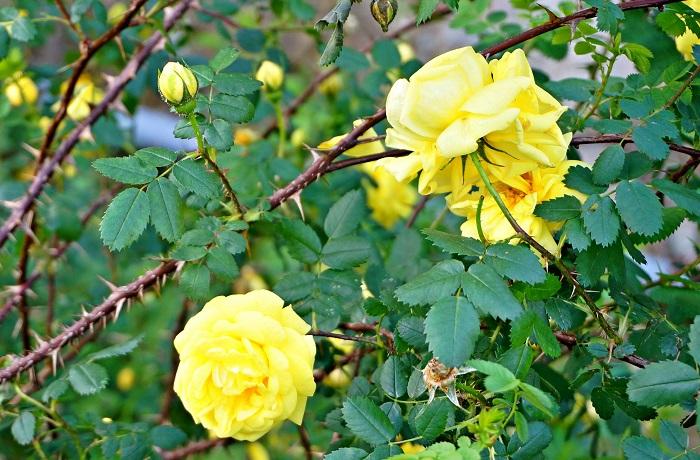 rose-garden11-700