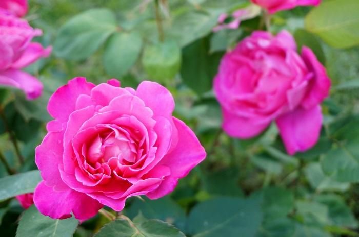 rose-garden13-700