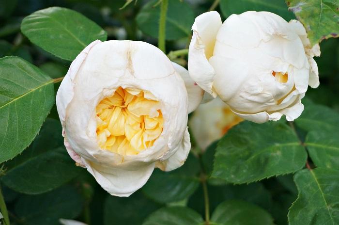 rose-garden16-700