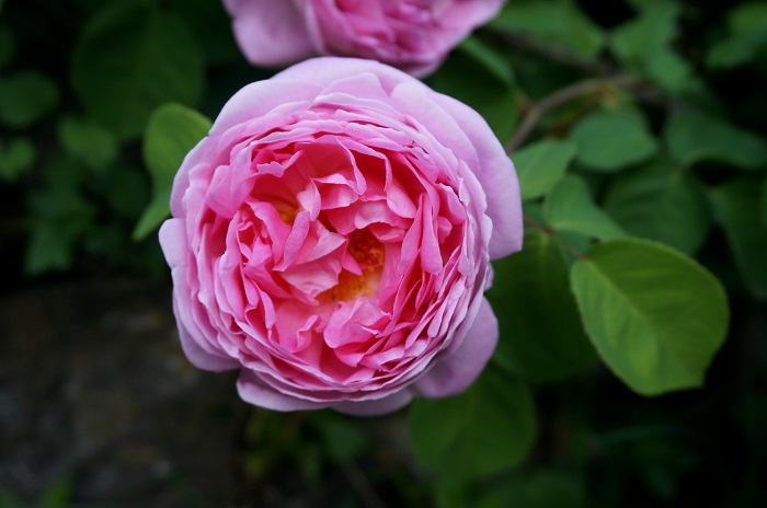 rose-garden4-700