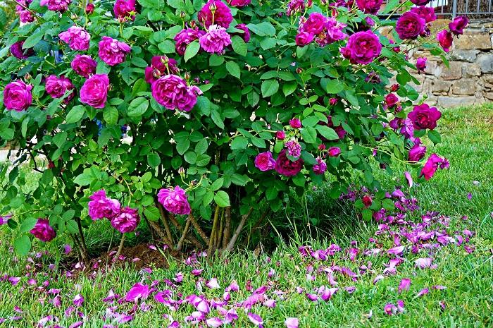 rose-garden7-700