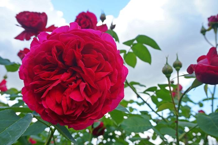 rose-garden8-700